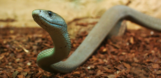 File:Black-mamba-slither.jpg