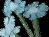 Trollweiss