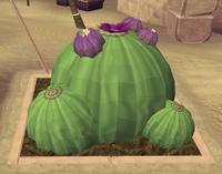 Potato cactus8