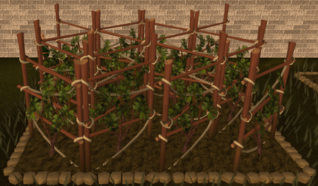 Grapevine 3