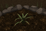 Pineapple plant 3