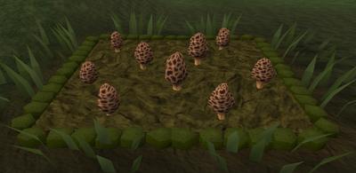Morchella mushroom3