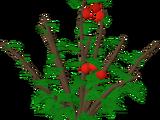 Redberry bush