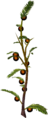 Cocoaberry bush.png