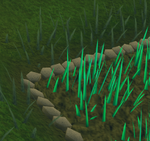 Snape grass5