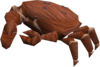 Baby giant crab (red) pet