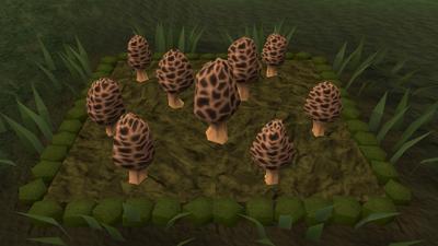 Morchella mushroom4