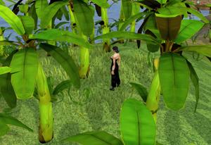 Picking bananas
