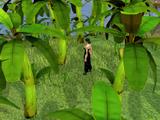 Money making guide/Picking bananas