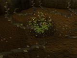Tchiki nut bush