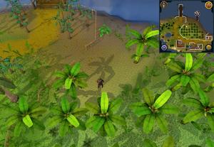 Compass clue Musa Point banana plantation