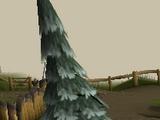 Pinheiro do ártico