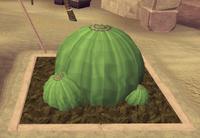 Potato cactus6