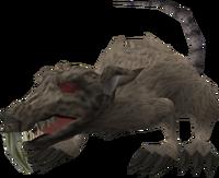 Zombie rat