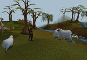 Shooting sheep