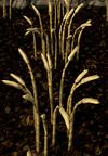 Barley5
