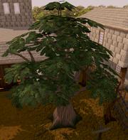 Seers yews