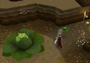 Brassica Prime in Oo'glog