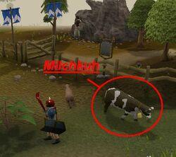 Milchkuh