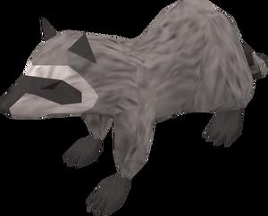 Raccoon (grey) pet