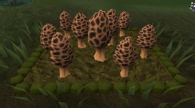 Morchella mushroom5
