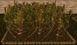 Grapevine 4