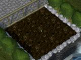 Jade vine seed