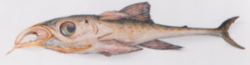Spetan channelfish