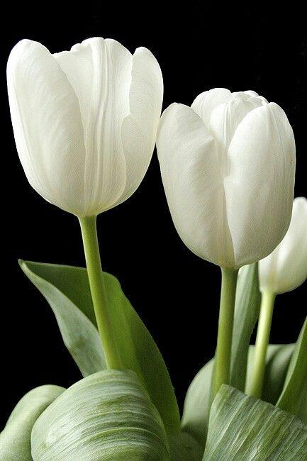 Image 5b0f94aa35366a99bb95c8cd2d9e51b2 white tulips tulips 5b0f94aa35366a99bb95c8cd2d9e51b2 white tulips tulips flowers 1 g mightylinksfo