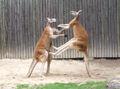 - fighting red kangaroos 1.jpg