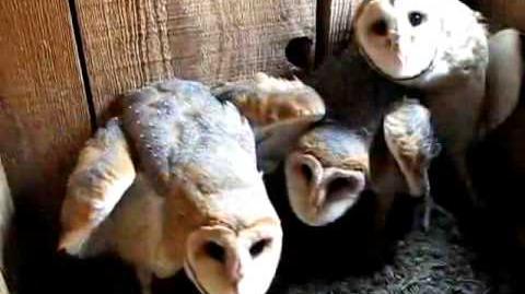 Tyto alba USA three hissing and clicking 8-0