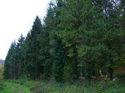 Evergreen trees, Erlestoke Park Woods, Erlestoke - geograph org uk - 729294