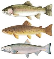 Steelhead-trout-coho-salmon