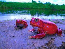 Red Dragon of Madagascar