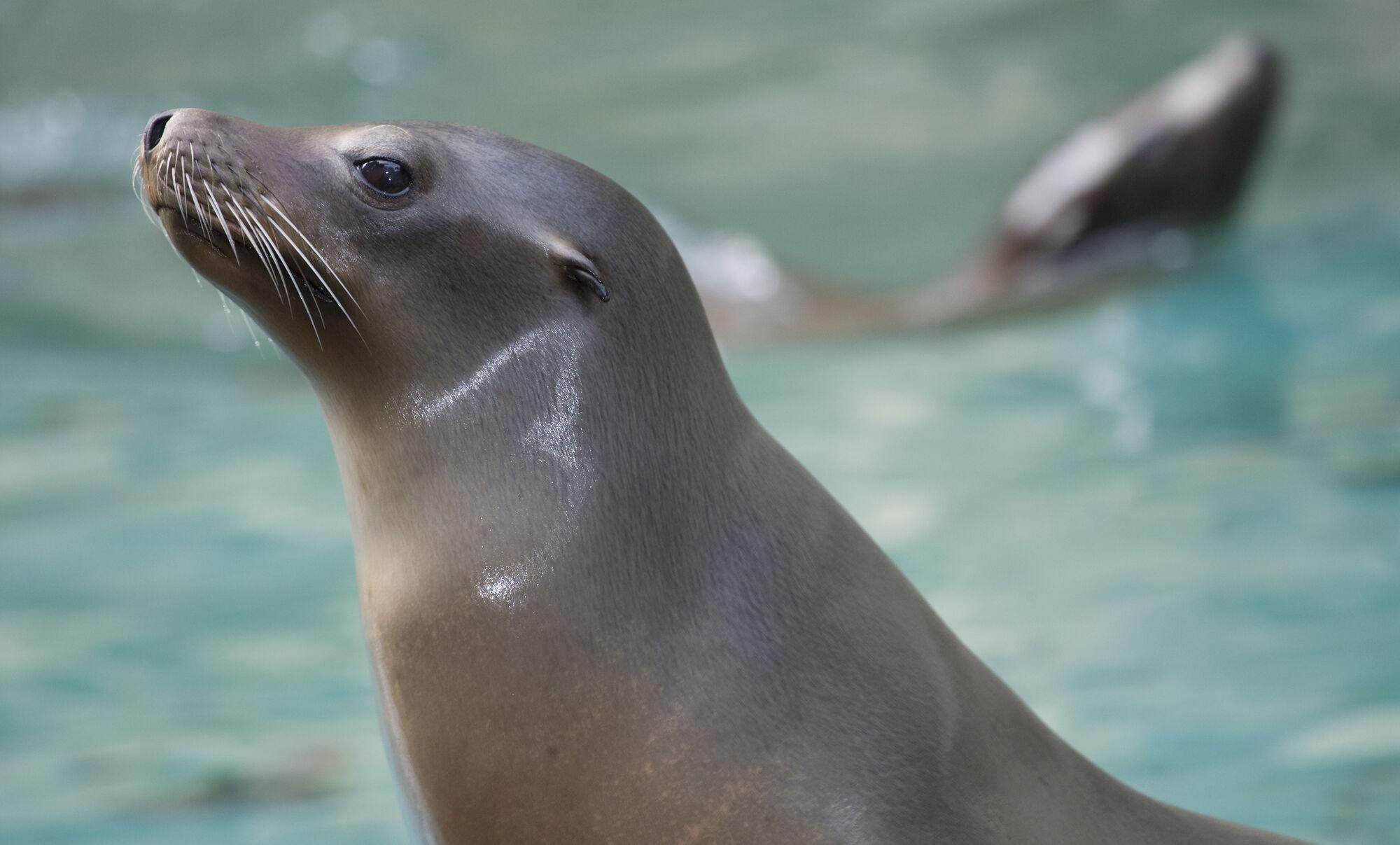 California Sea Loin | Zoopedia Wiki | FANDOM powered by Wikia