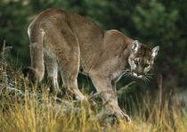 Cougar8