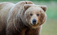 Bear 3017350b