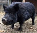 Reginald (hog)