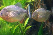 CAS-Aquarium-Piranha2