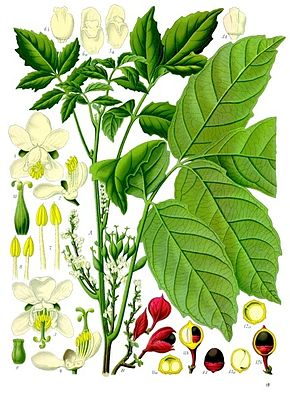 290px-Paullinia cupana - Köhler–s Medizinal-Pflanzen-234