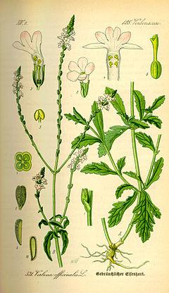240px-Illustration Verbena officinalis0