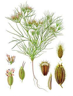 250px-Cuminum cyminum - Köhler–s Medizinal-Pflanzen-198