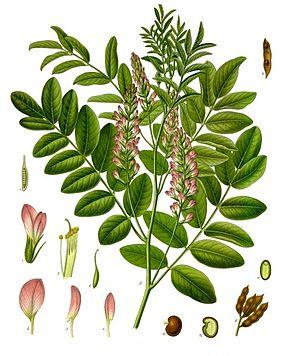 290px-Glycyrrhiza glabra - Köhler–s Medizinal-Pflanzen-207
