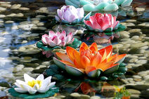 2008-0217 (156) Lotus Flower