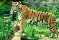 Panthera tigris tigris1