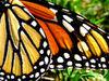 Monarch Adornment