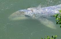 Baby Gray Whale - Peeking Thru Water
