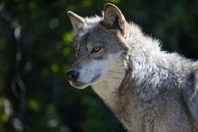 Gray Wolf II