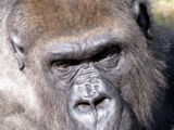 Threats to gorillas