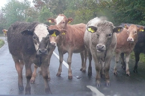 Wet cows on my way to work this morning